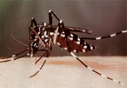 Tiger mosquito on skin